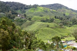 Cameron Highlands _MG_7527